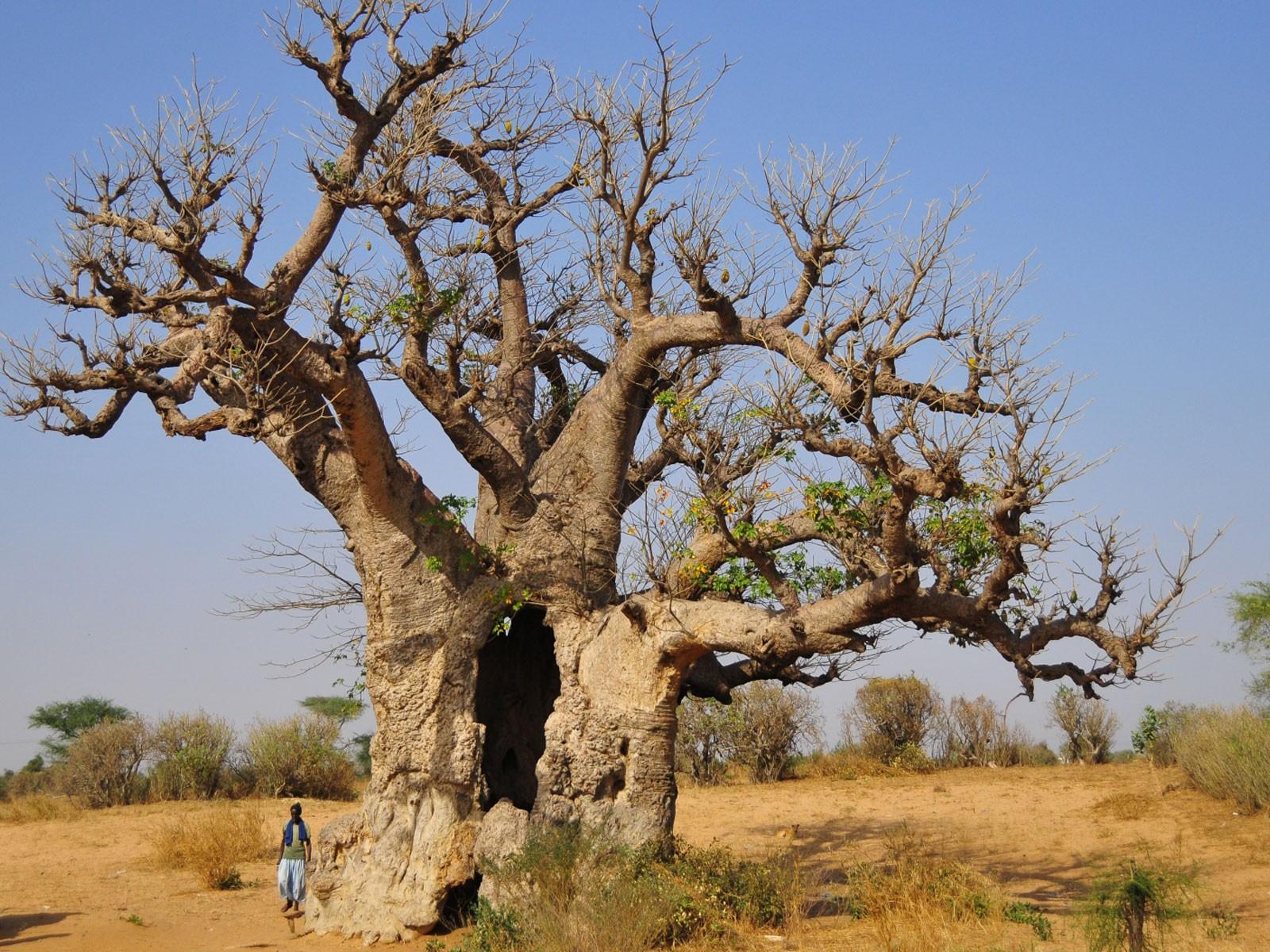 senegal baobab baum des lebens. Black Bedroom Furniture Sets. Home Design Ideas